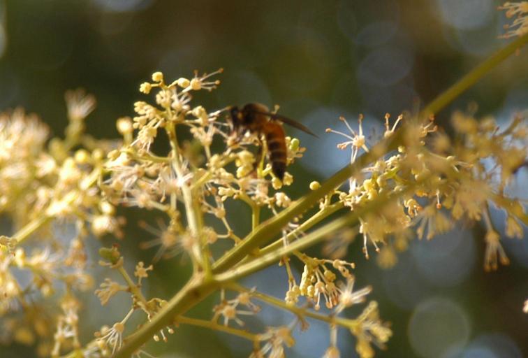 オオミツバチ①